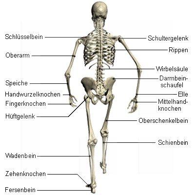 Die Anatomie des Menschen