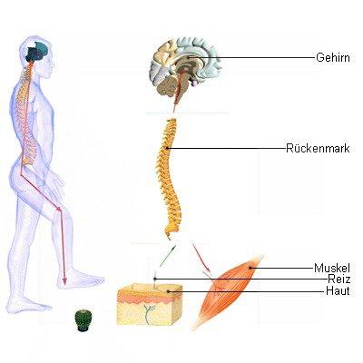 mensch organe lage